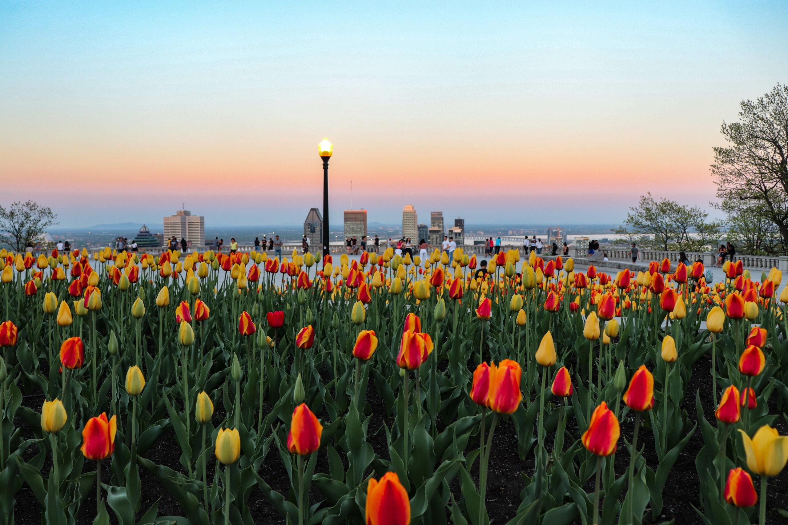 tulipes_montréal_skyline_coucher_de_soleil