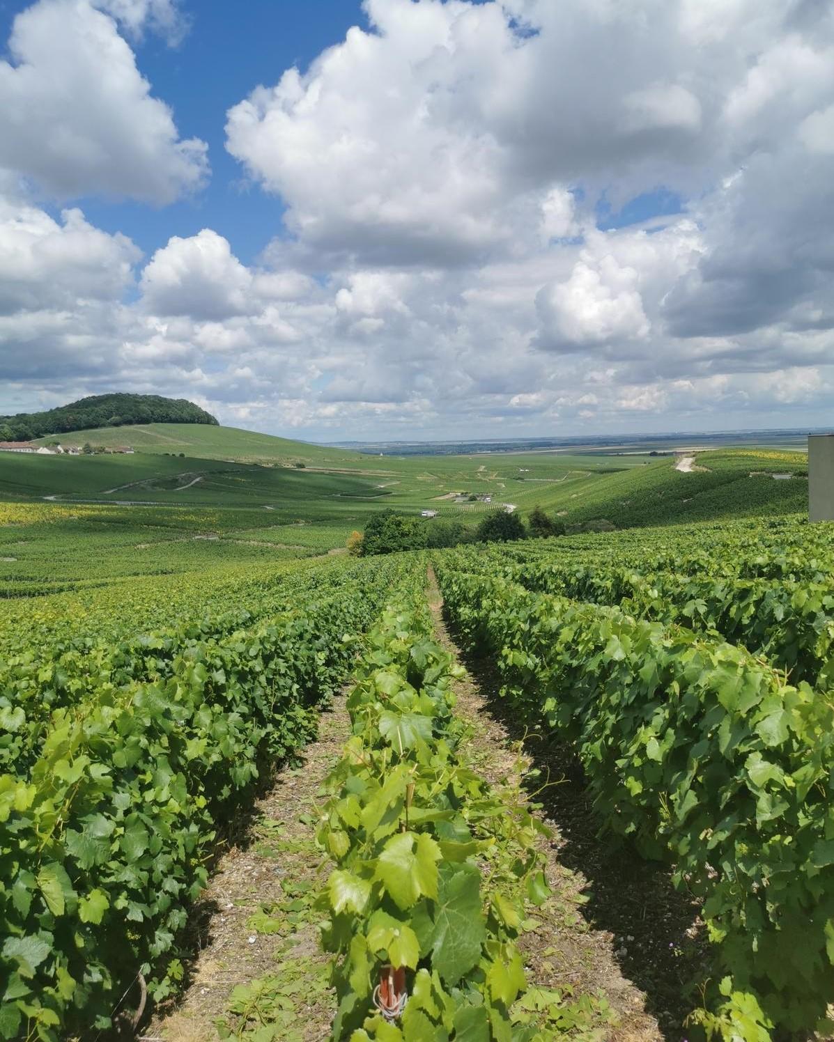 vignes_vignoble_vin_champagne